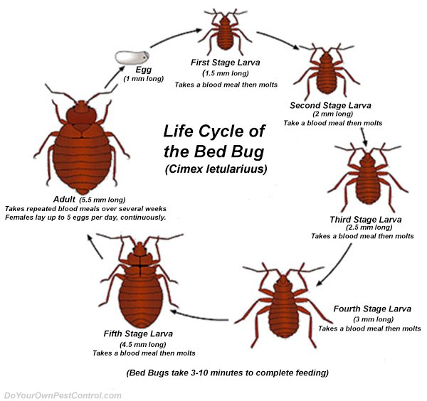 Bed Bugs Pictures Sacramento